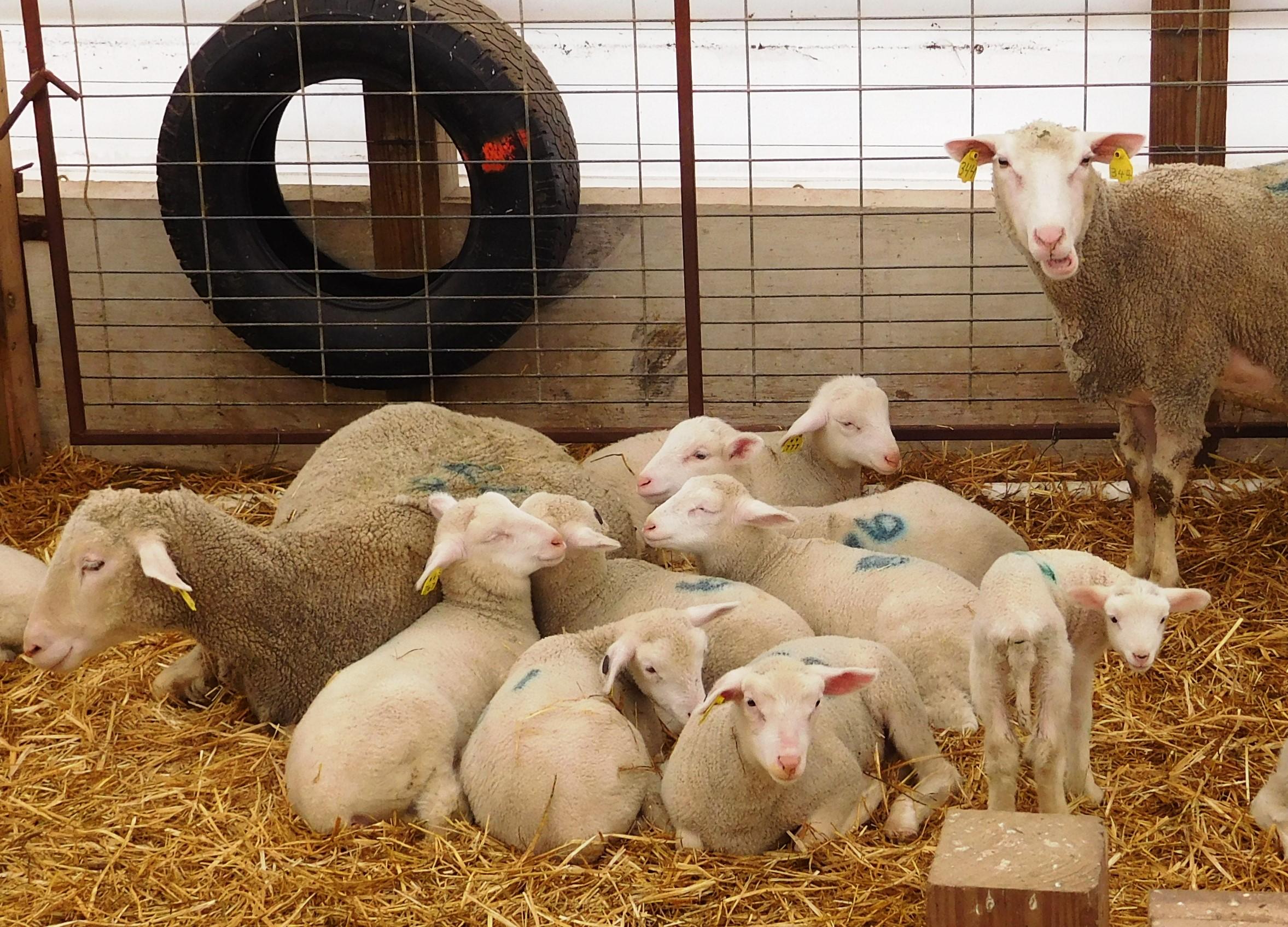 Hidden Valley Farm Polypay Sheep